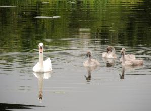 The Big Picture: A family of swans on the river by David Wagner