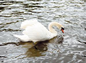 Cygnet almost dies after attack by group of boys