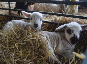 Animal young spring into life at Berkshire College of Agriculture