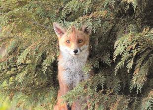 Striking fox and mute swans winners of WildMarlow photo contest